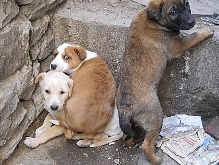 Street Pups of Udaipur