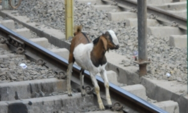 goat on the line