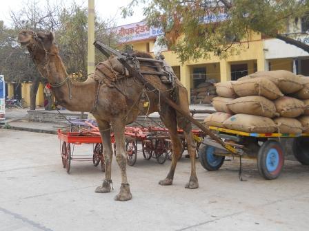 Camel Cart, Kota