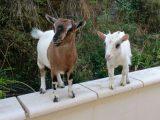 Goats at Mas Sarrat